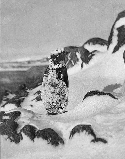 Frozen Adelie, Antarctica, 1911-1914 / photograph by Frank Hurley